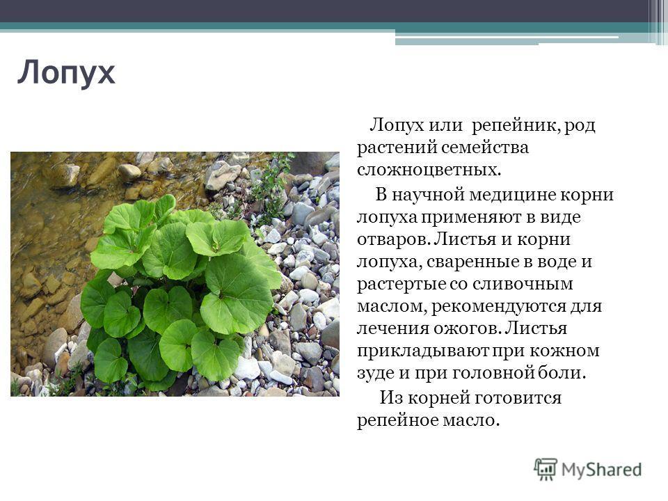 Лопух Лопух или репейник, род растений семейства сложноцветных. В научной медицине корни лопуха применяют в виде отваров. Листья и корни лопуха, сваренные в воде и растертые со сливочным маслом, рекомендуются для лечения ожогов. Листья прикладывают п