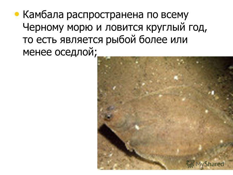 Камбала распространена по всему Черному морю и ловится круглый год, то есть является рыбой более или менее оседлой; Камбала распространена по всему Черному морю и ловится круглый год, то есть является рыбой более или менее оседлой;