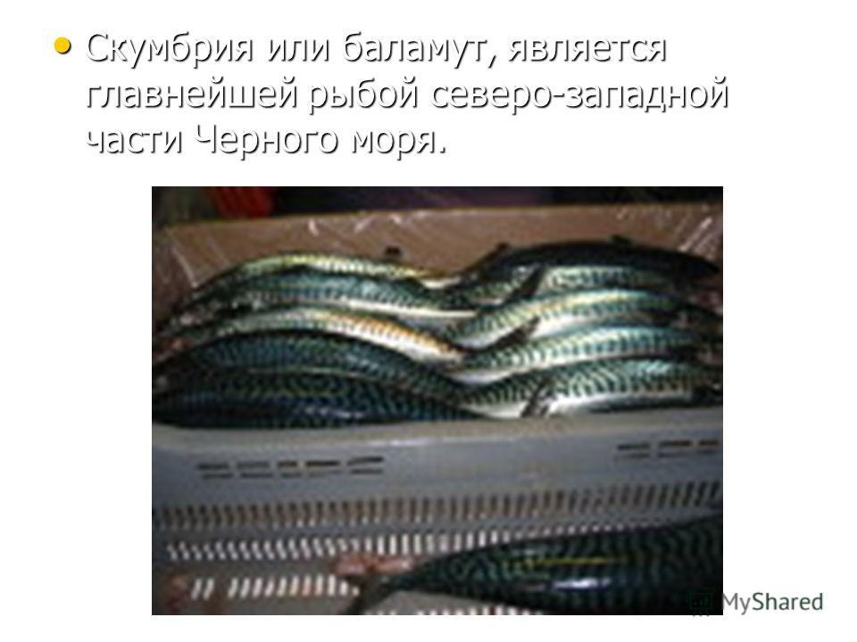 Скумбрия или баламут, является главнейшей рыбой северо-западной части Черного моря. Скумбрия или баламут, является главнейшей рыбой северо-западной части Черного моря.