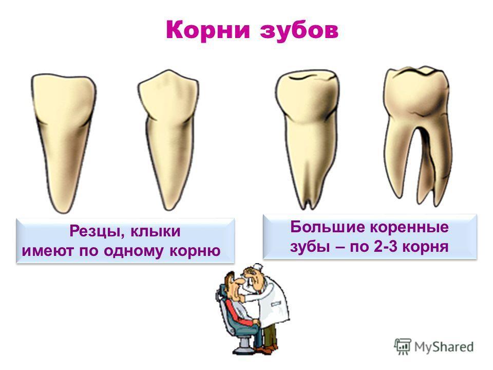 Корень четвёртого зуба