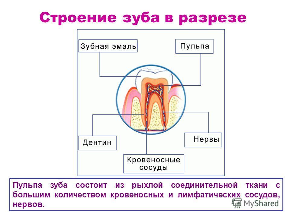 Строение зуба в разрезе Пульпа зуба состоит из рыхлой соединительной ткани с большим количеством кровеносных и лимфатических сосудов, нервов.