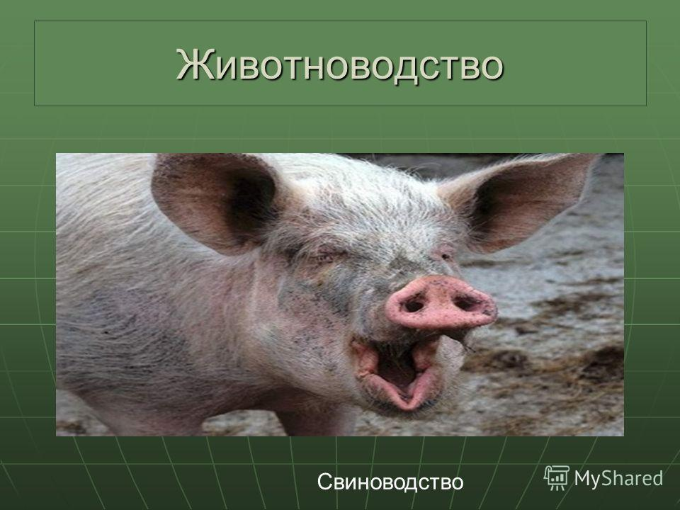 Презентация на тему План Состав АПК Сельское хозяйство  10 Животноводство Свиноводство