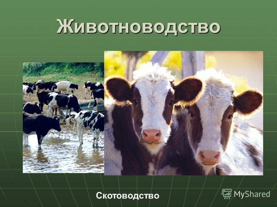 Животноводство Скотоводство
