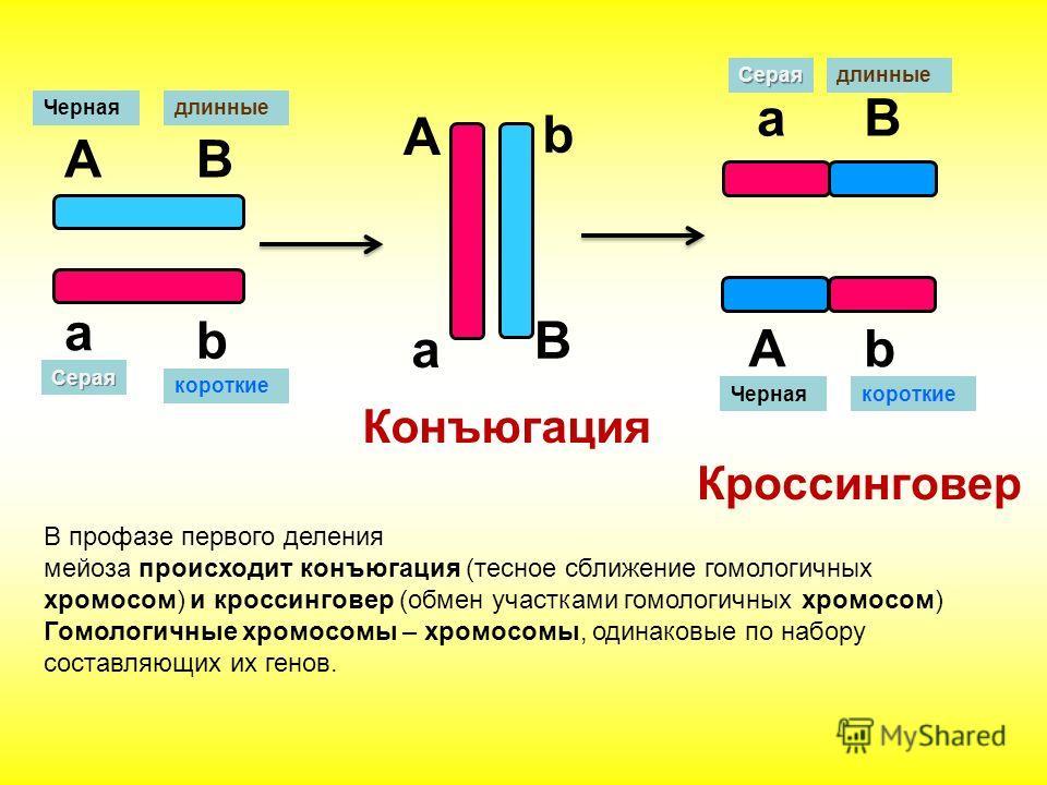Кроссинговер А а B b А B a b Серая короткие длинныеЧерная aВ Аb Конъюгация В профазе первого деления мейоза происходит конъюгация (тесное сближение гомологичных хромосом) и кроссинговер (обмен участками гомологичных хромосом) Гомологичные хромосомы –