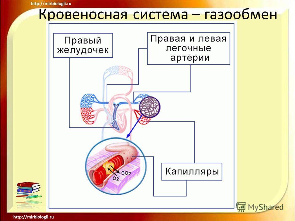 Кровеносная система – газообмен