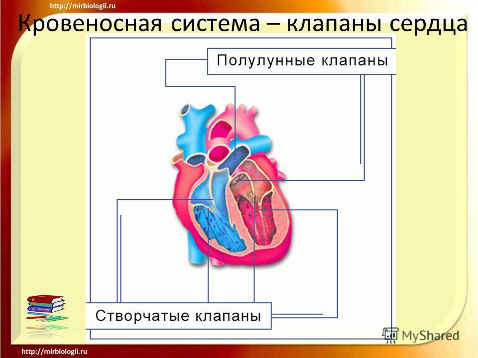 Кровеносная система – клапаны сердца