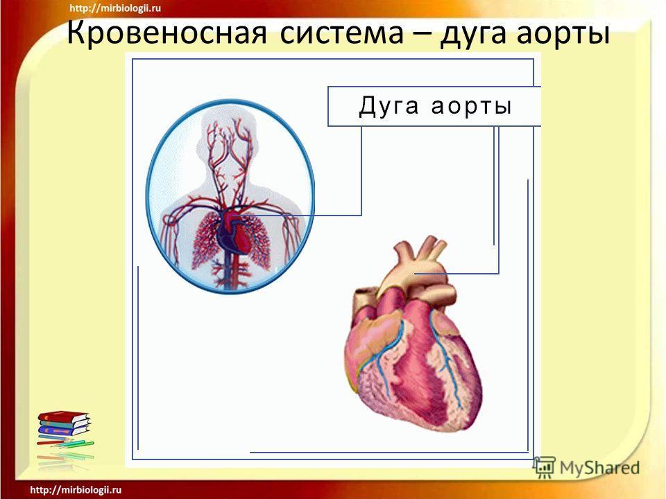 Кровеносная система – дуга аорты