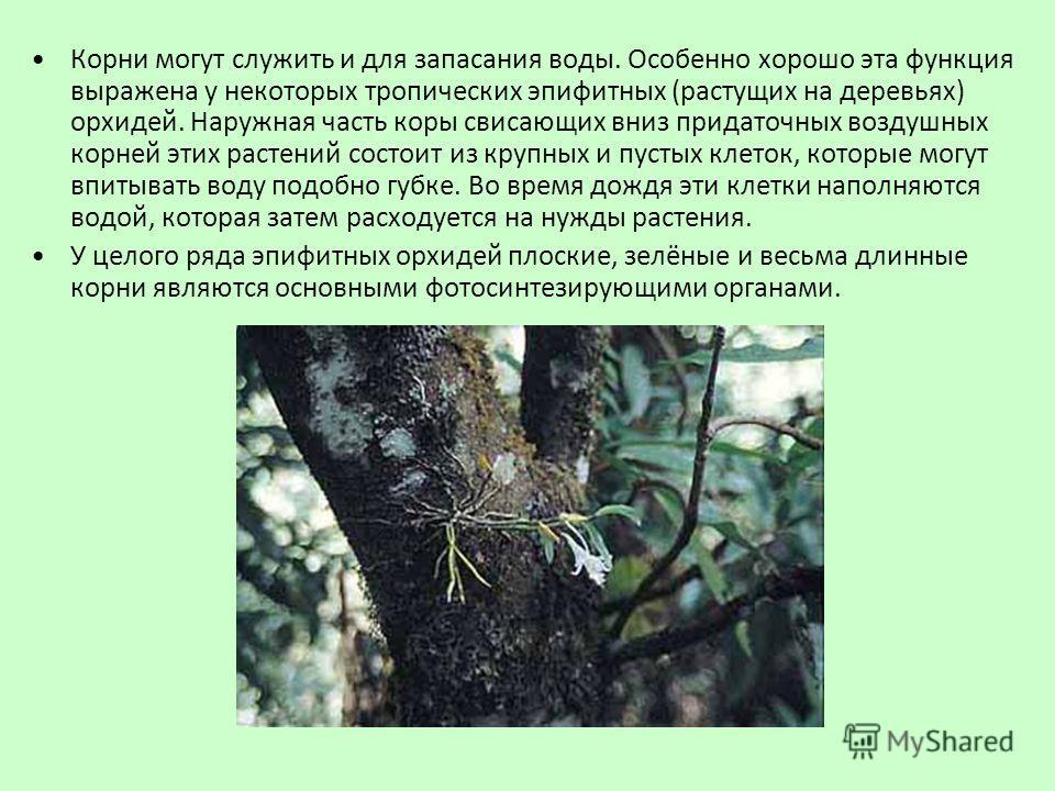 Корни могут служить и для запасания воды. Особенно хорошо эта функция выражена у некоторых тропических эпифитных (растущих на деревьях) орхидей. Наружная часть коры свисающих вниз придаточных воздушных корней этих растений состоит из крупных и пустых