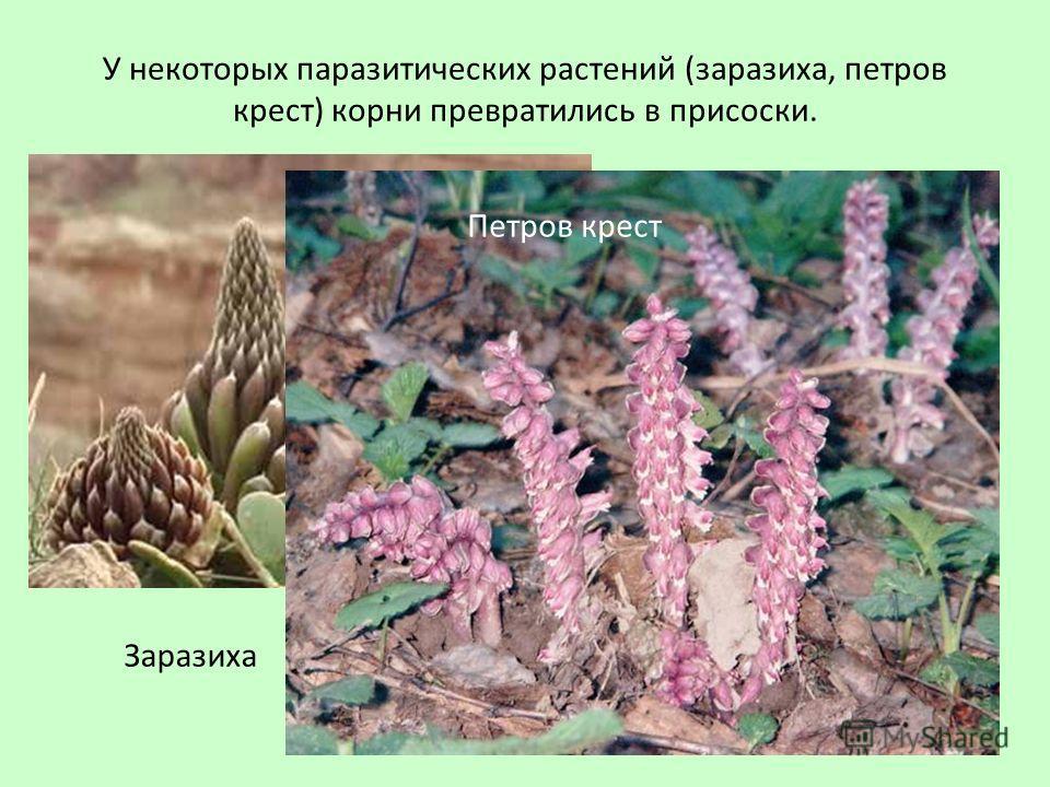 У некоторых паразитических растений (заразиха, петров крест) корни превратились в присоски. Заразиха Петров крест