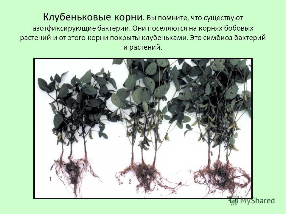 Клубеньковые корни. Вы помните, что существуют азотфиксирующие бактерии. Они поселяются на корнях бобовых растений и от этого корни покрыты клубеньками. Это симбиоз бактерий и растений.