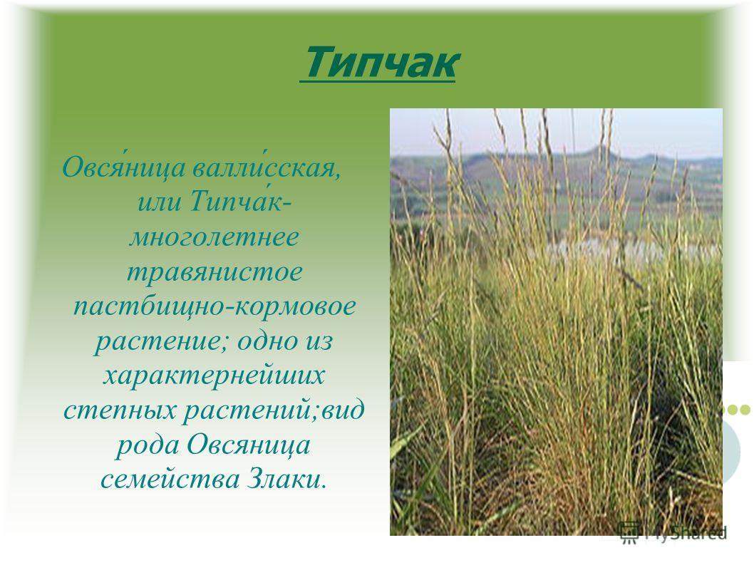 Типчак Овся́ница валли́сская, или Типча́к- многолетнее травянистое пастбищно-кормовое растение; одно из характернейших степных растений;вид рода Овсяница семейства Злаки.