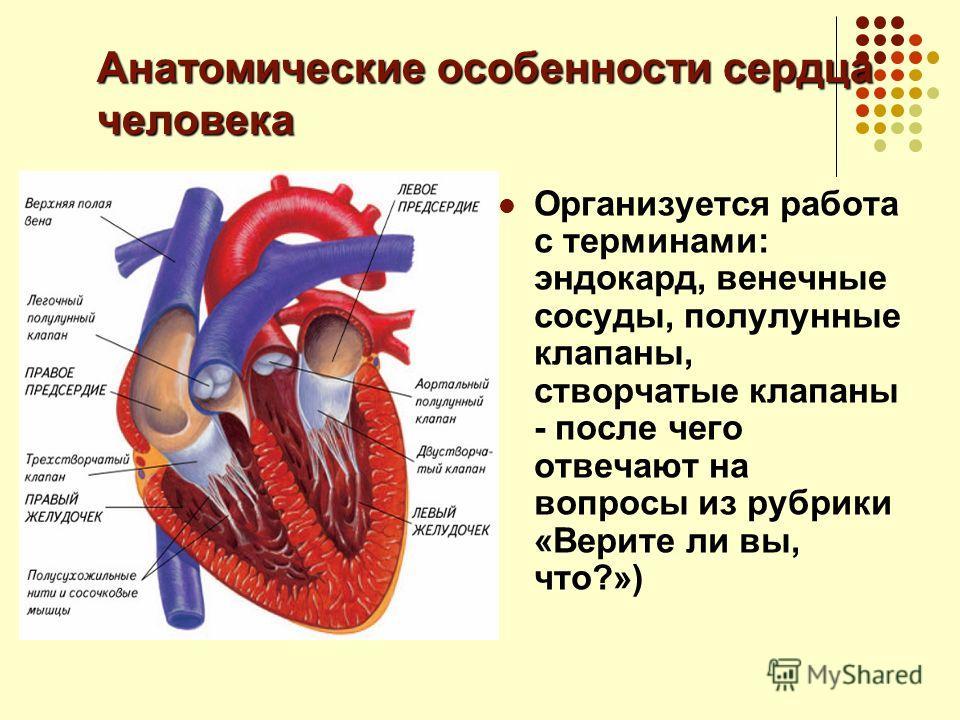 Анатомические особенности сердца человека Организуется работа с терминами: эндокард, венечные сосуды, полулунные клапаны, створчатые клапаны - после чего отвечают на вопросы из рубрики «Верите ли вы, что?»)