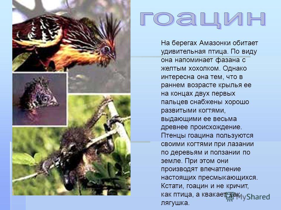 На берегах Амазонки обитает удивительная птица. По виду она напоминает фазана с желтым хохолком. Однако интересна она тем, что в раннем возрасте крылья ее на концах двух первых пальцев снабжены хорошо развитыми когтями, выдающими ее весьма древнее пр