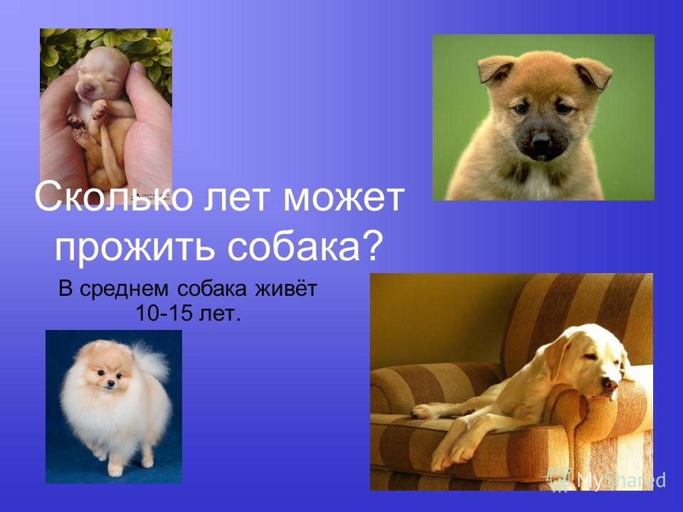 Сколько лет может прожить собака? В среднем собака живёт 10-15 лет.