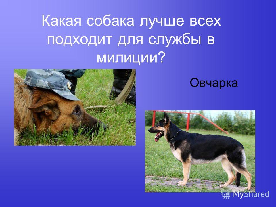 Какая собака лучше всех подходит для службы в милиции? Овчарка