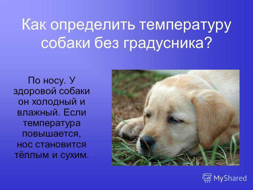 Как определить температуру собаки без градусника? По носу. У здоровой собаки он холодный и влажный. Если температура повышается, нос становится тёплым и сухим.