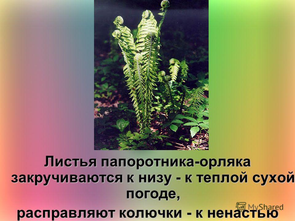 Листья папоротника-орляка закручиваются к низу - к теплой сухой погоде, расправляют колючки - к ненастью