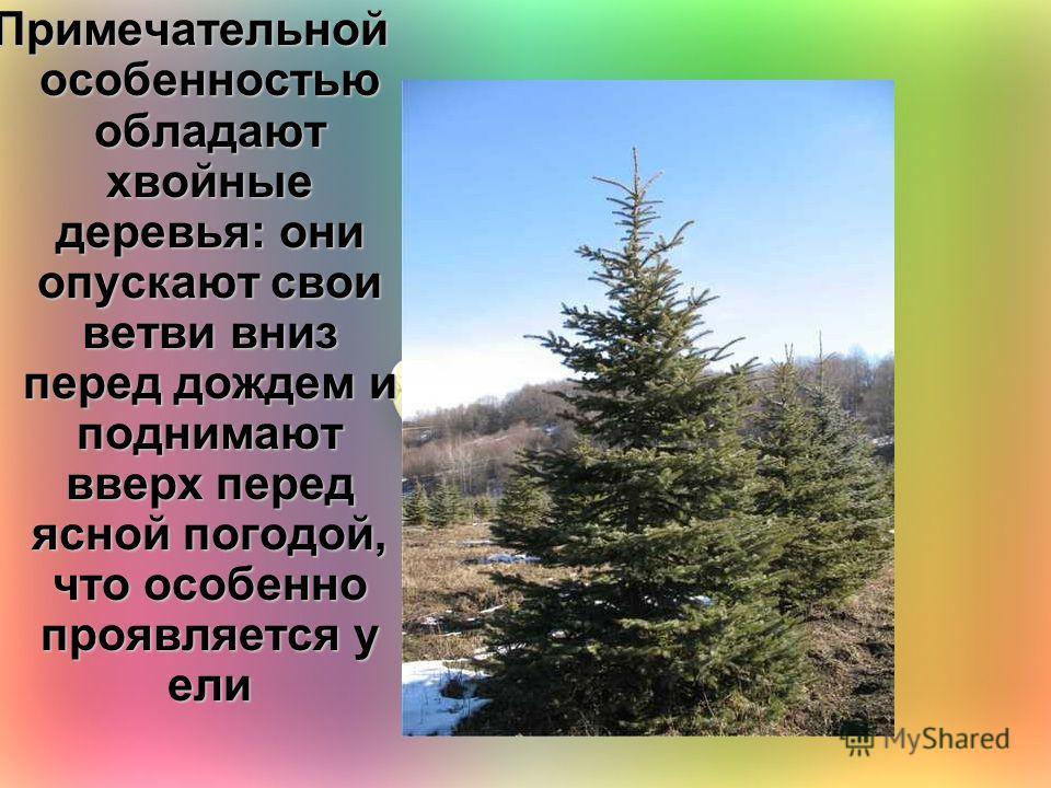 Примечательной особенностью обладают хвойные деревья: они опускают свои ветви вниз перед дождем и поднимают вверх перед ясной погодой, что особенно проявляется у ели