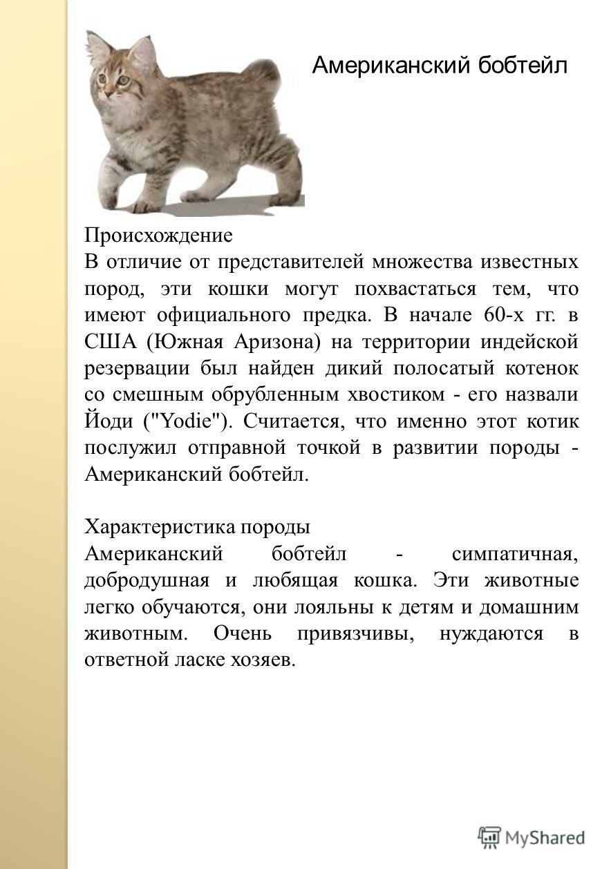Американский бобтейл Происхождение В отличие от представителей множества известных пород, эти кошки могут похвастаться тем, что имеют официального предка. В начале 60-х гг. в США (Южная Аризона) на территории индейской резервации был найден дикий пол