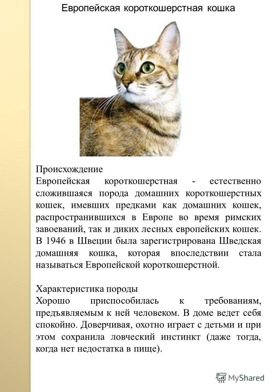 Европейская короткошерстная кошка Происхождение Европейская короткошерстная - естественно сложившаяся порода домашних короткошерстных кошек, имевших предками как домашних кошек, распространившихся в Европе во время римских завоеваний, так и диких лес