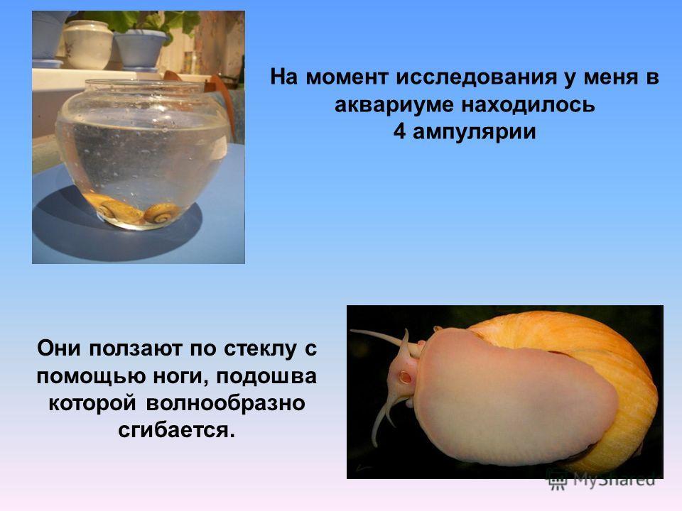 На момент исследования у меня в аквариуме находилось 4 ампулярии Они ползают по стеклу с помощью ноги, подошва которой волнообразно сгибается.