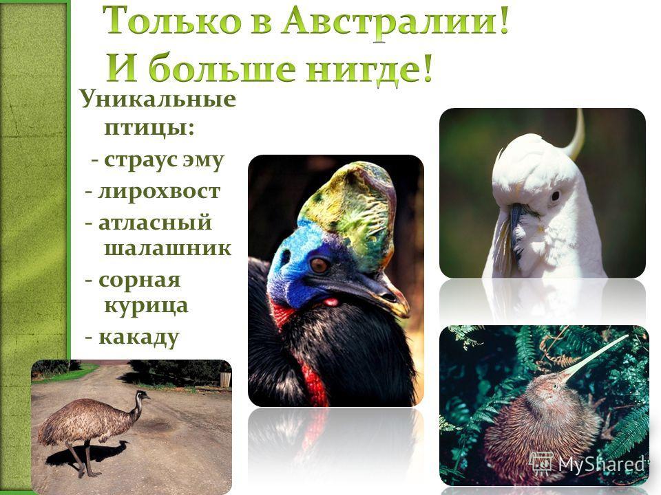 Уникальные птицы: - страус эму - лирохвост - атласный шалашник - сорная курица - какаду - казуар