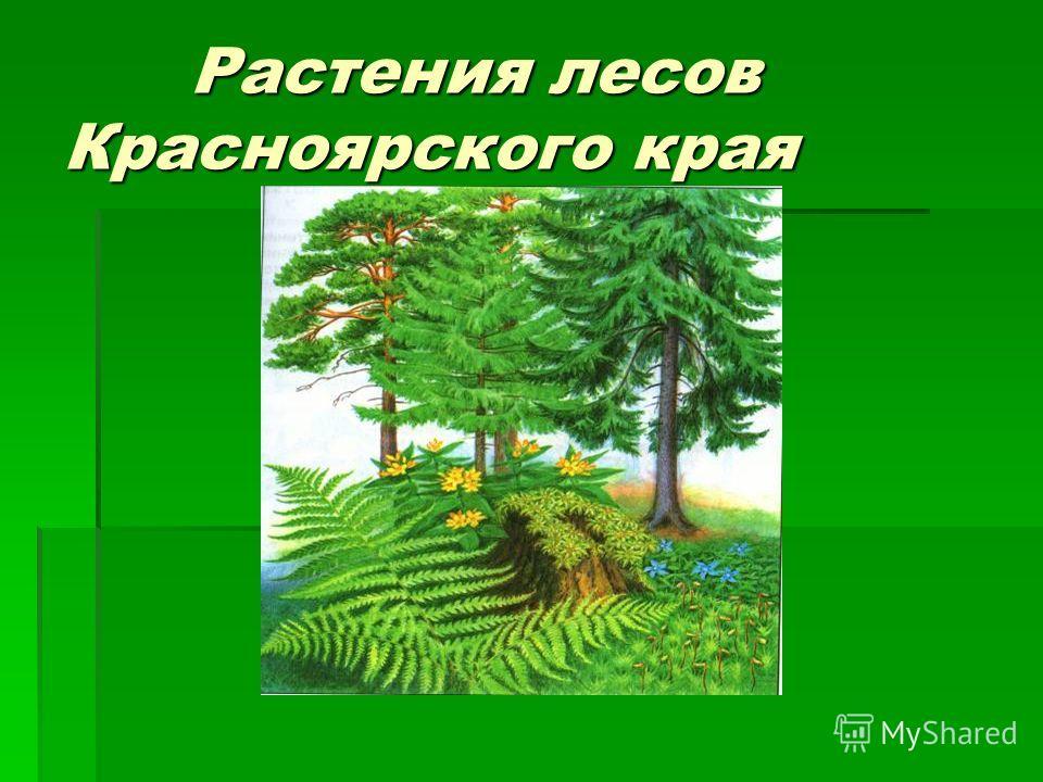 Растения лесов Красноярского края Растения лесов Красноярского края