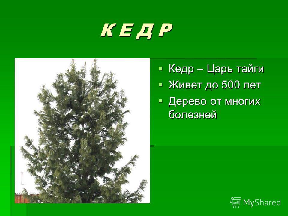 К Е Д Р К Е Д Р Кедр – Царь тайги Кедр – Царь тайги Живет до 500 лет Живет до 500 лет Дерево от многих болезней Дерево от многих болезней