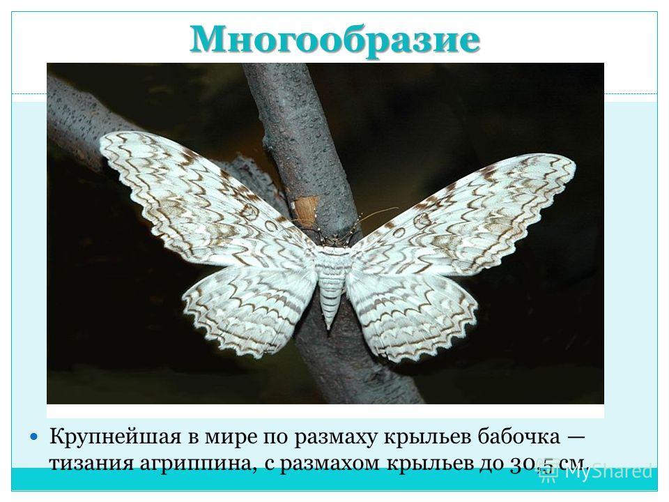 Многообразие Крупнейшая в мире по размаху крыльев бабочка тизания агриппина, с размахом крыльев до 30,5 см.