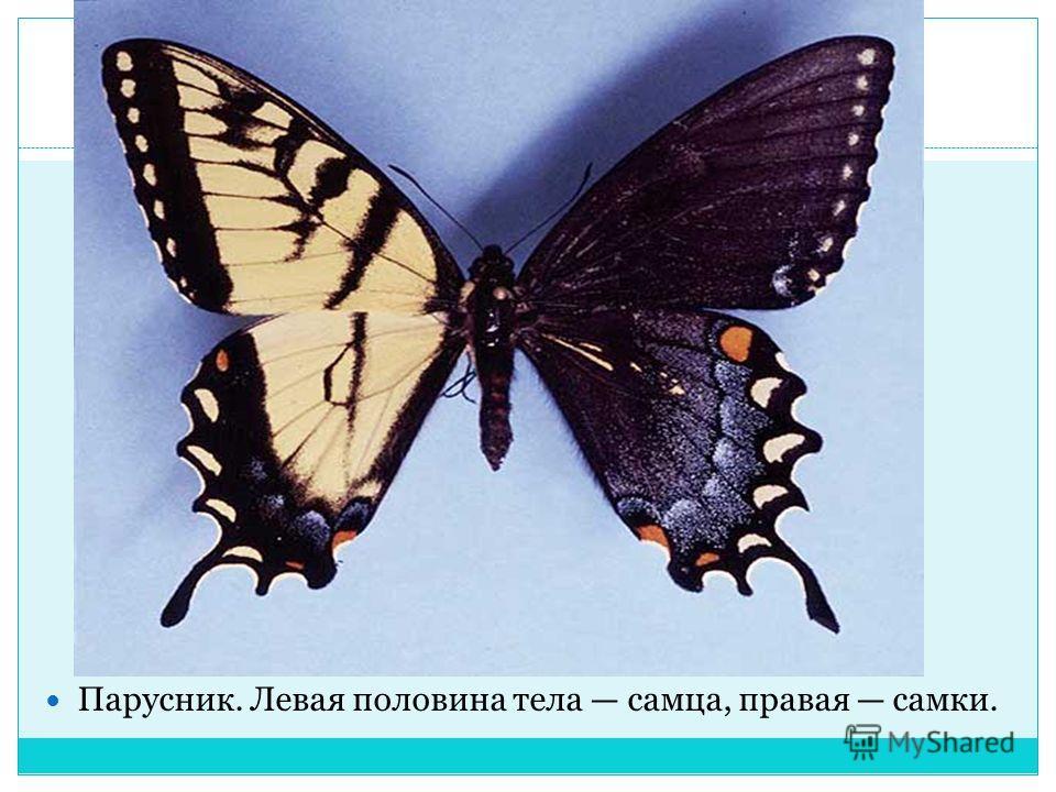 Парусник. Левая половина тела самца, правая самки.