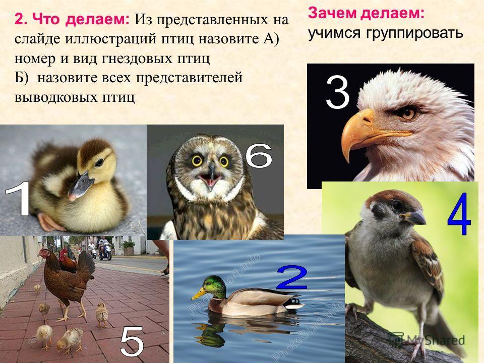 2. Что делаем: Из представленных на слайде иллюстраций птиц назовите А) номер и вид гнездовых птиц Б) назовите всех представителей выводковых птиц Зачем делаем: учимся группировать