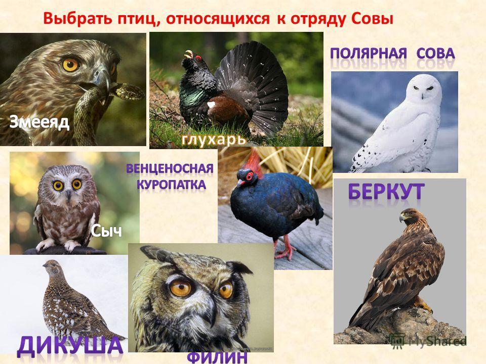 Выбрать птиц, относящихся к отряду Совы
