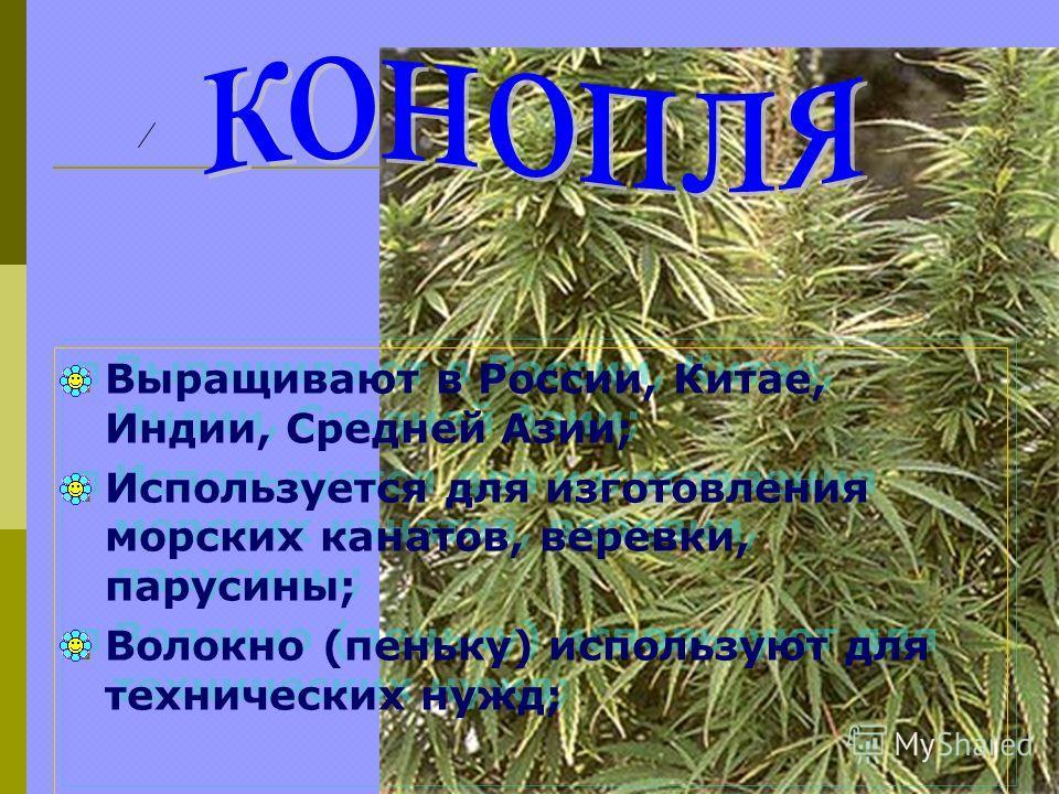 Выращивают в России, Китае, Индии, Средней Азии; Используется для изготовления морских канатов, веревки, парусины; Волокно (пеньку) используют для технических нужд; Выращивают в России, Китае, Индии, Средней Азии; Используется для изготовления морски
