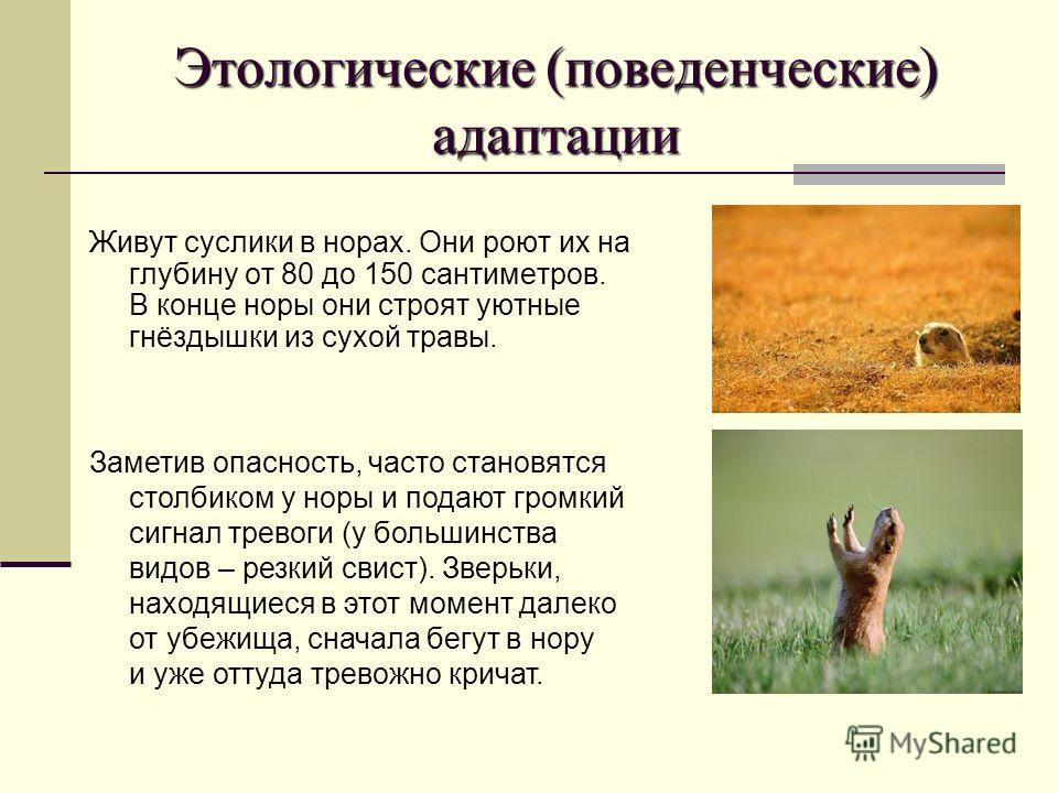 Этологические (поведенческие) адаптации Живут суслики в норах. Они роют их на глубину от 80 до 150 сантиметров. В конце норы они строят уютные гнёздышки из сухой травы. Заметив опасность, часто становятся столбиком у норы и подают громкий сигнал трев