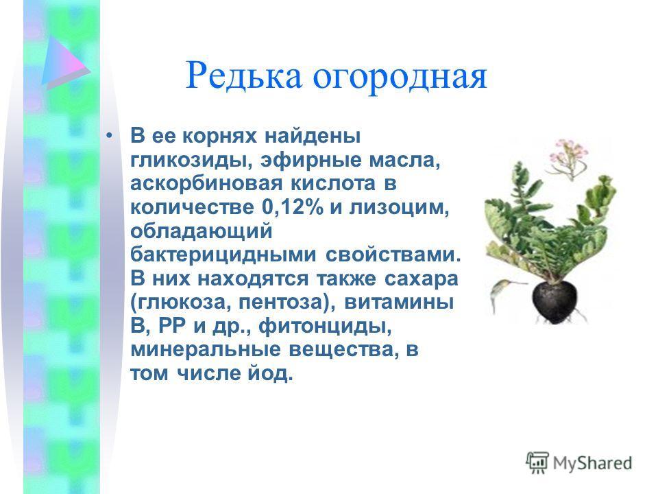 Редька огородная В ее корнях найдены гликозиды, эфирные масла, аскорбиновая кислота в количестве 0,12% и лизоцим, обладающий бактерицидными свойствами. В них находятся также сахара (глюкоза, пентоза), витамины В, РР и др., фитонциды, минеральные веще