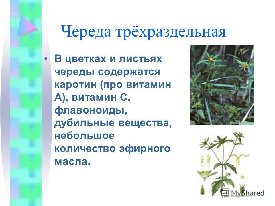 Череда трёхраздельная В цветках и листьях череды содержатся каротин (про витамин А), витамин С, флавоноиды, дубильные вещества, небольшое количество эфирного масла.
