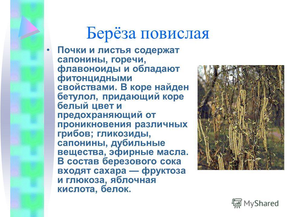 Берёза повислая Почки и листья содержат сапонины, горечи, флавоноиды и обладают фитонцидными свойствами. В коре найден бетулол, придающий коре белый цвет и предохраняющий от проникновения различных грибов; гликозиды, сапонины, дубильные вещества, эфи