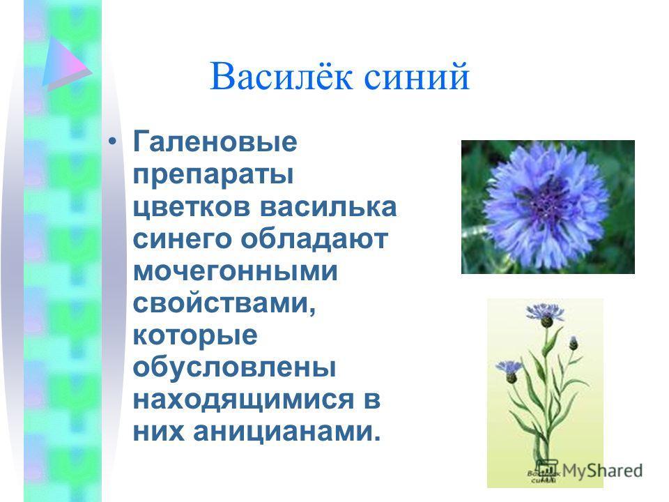 Василёк синий Галеновые препараты цветков василька синего обладают мочегонными свойствами, которые обусловлены находящимися в них аницианами.
