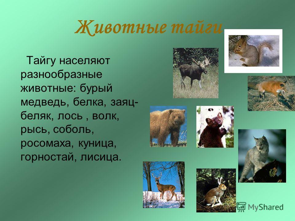 Тайгу населяют разнообразные животные: бурый медведь, белка, заяц- беляк, лось, волк, рысь, соболь, росомаха, куница, горностай, лисица. Животные тайги