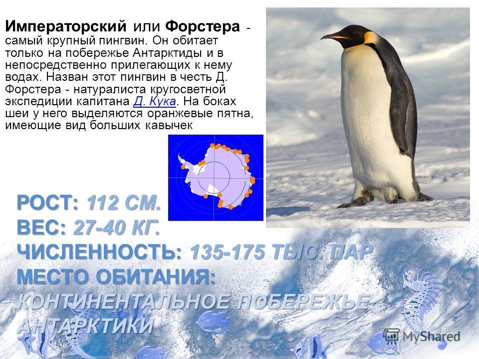 РОСТ: 112 СМ. ВЕС: 27-40 КГ. ЧИСЛЕННОСТЬ: 135-175 ТЫС. ПАР МЕСТО ОБИТАНИЯ: КОНТИНЕНТАЛЬНОЕ ПОБЕРЕЖЬЕ АНТАРКТИКИ Императорский или Форстера - самый крупный пингвин. Он обитает только на побережье Антарктиды и в непосредственно прилегающих к нему водах