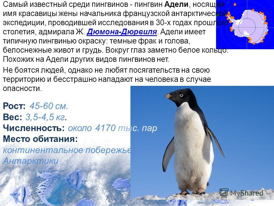Самый известный среди пингвинов - пингвин Адели, носящий имя красавицы жены начальника французской антарктической экспедиции, проводившей исследования в 30-х годах прошлого столетия, адмирала Ж. Дюмона-Дюрвиля. Адели имеет типичную пингвинью окраску: