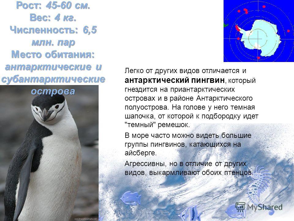 Легко от других видов отличается и антарктический пингвин, который гнездится на приантарктических островах и в районе Антарктического полуострова. На голове у него темная шапочка, от которой к подбородку идет
