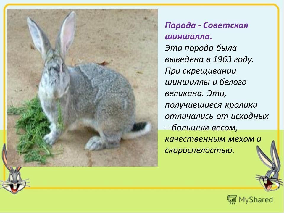 Порода - Советская шиншилла. Эта порода была выведена в 1963 году. При скрещивании шиншиллы и белого великана. Эти, получившиеся кролики отличались от исходных – большим весом, качественным мехом и скороспелостью.