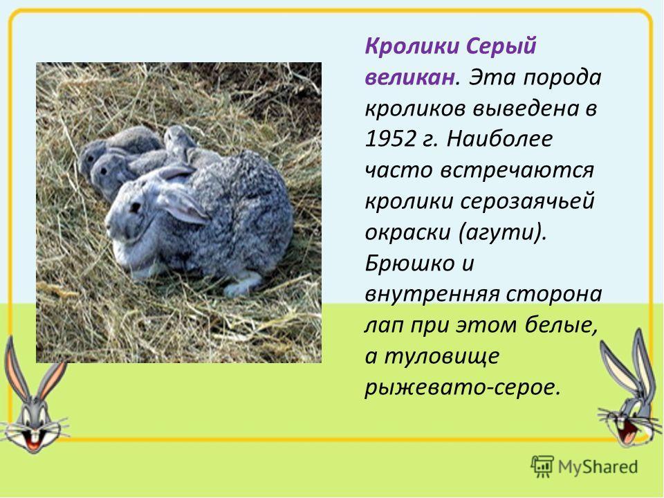 Кролики Серый великан. Эта порода кроликов выведена в 1952 г. Наиболее часто встречаются кролики серозаячьей окраски (агути). Брюшко и внутренняя сторона лап при этом белые, а туловище рыжевато-серое.