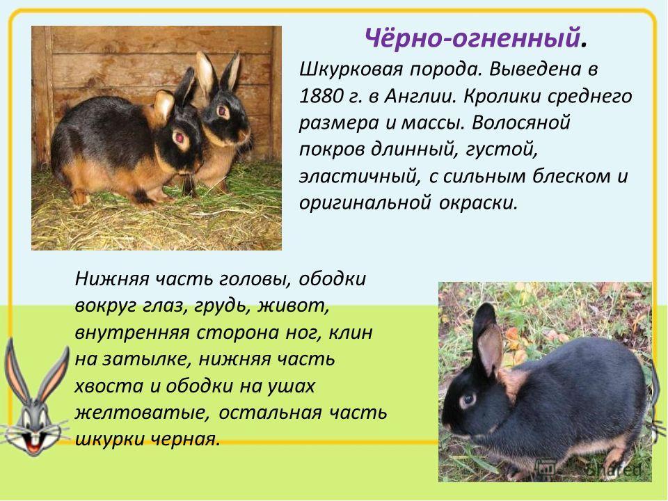 Чёрно-огненный. Шкурковая порода. Выведена в 1880 г. в Англии. Кролики среднего размера и массы. Волосяной покров длинный, густой, эластичный, с сильным блеском и оригинальной окраски. Нижняя часть головы, ободки вокруг глаз, грудь, живот, внутренняя