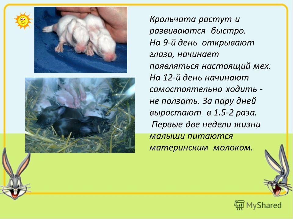 Крольчата растут и развиваются быстро. На 9-й день открывают глаза, начинает появляться настоящий мех. На 12-й день начинают самостоятельно ходить - не ползать. За пару дней выростают в 1.5-2 раза. Первые две недели жизни малыши питаются материнским