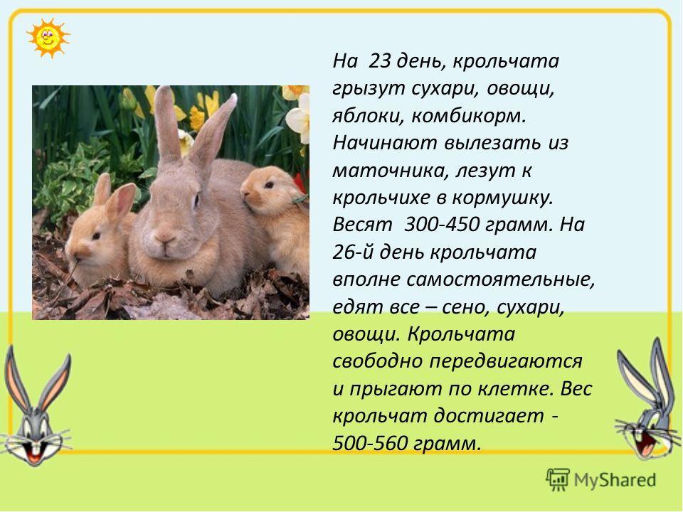 На 23 день, крольчата грызут сухари, овощи, яблоки, комбикорм. Начинают вылезать из маточника, лезут к крольчихе в кормушку. Весят 300-450 грамм. На 26-й день крольчата вполне самостоятельные, едят все – сено, сухари, овощи. Крольчата свободно передв