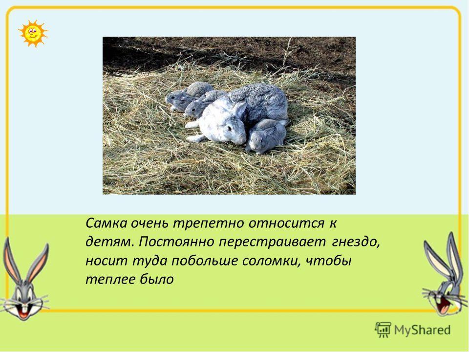 Самка очень трепетно относится к детям. Постоянно перестраивает гнездо, носит туда побольше соломки, чтобы теплее было