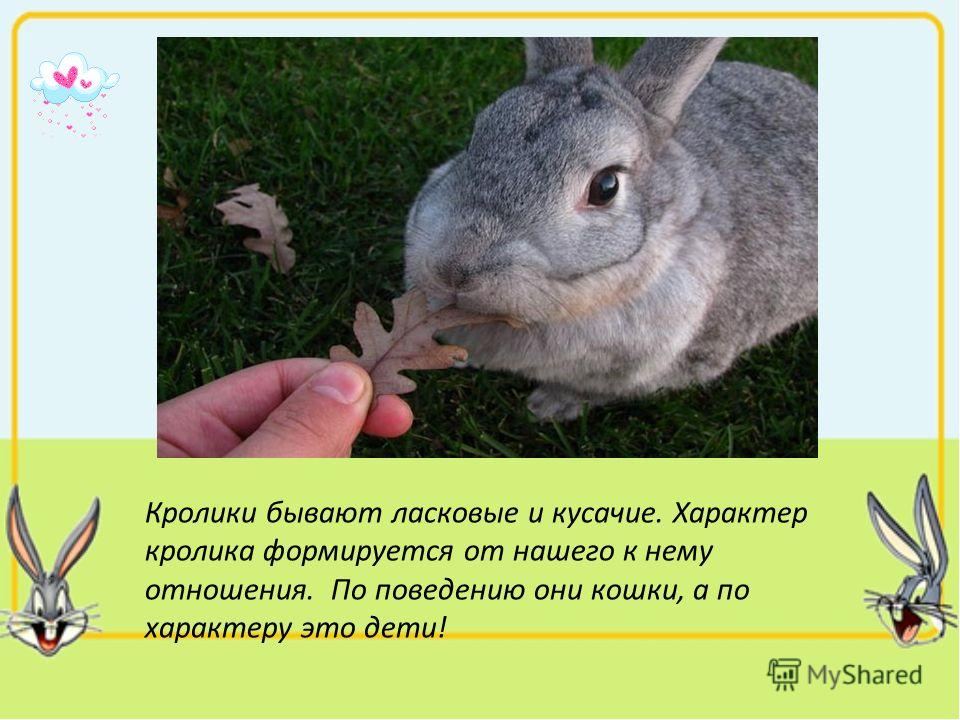 Кролики бывают ласковые и кусачие. Характер кролика формируется от нашего к нему отношения. По поведению они кошки, а по характеру это дети!