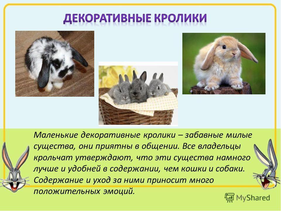 Маленькие декоративные кролики – забавные милые существа, они приятны в общении. Все владельцы крольчат утверждают, что эти существа намного лучше и удобней в содержании, чем кошки и собаки. Содержание и уход за ними приносит много положительных эмоц